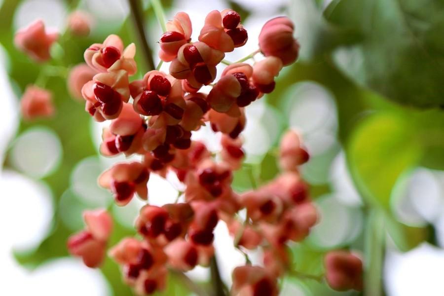 大叶丝棉木红果景色