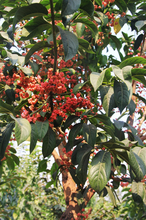 大叶丝棉木红果