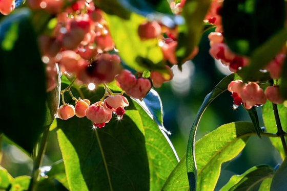 丝棉木-凯创园林邀请您观红果赏彩叶|丝棉木基地|园林公司|苗木基地