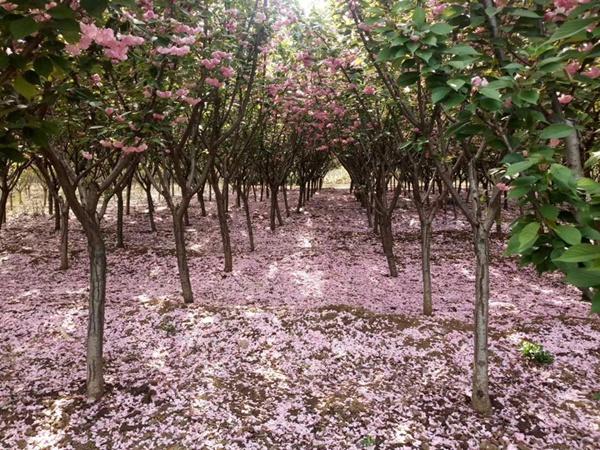 凯创园林樱花1.jpg