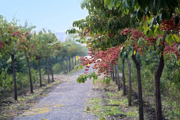 凯创园林景观树行道树4.jpg