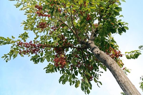 凯创园林景观树行道树5.jpg