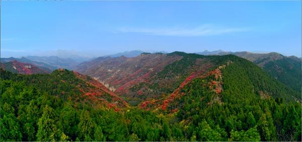 山东凯创园林黄栌3.jpg