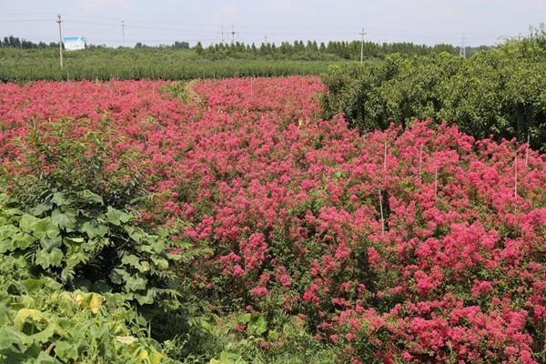 山东淄博凯创园林-国旗红紫薇2.jpg
