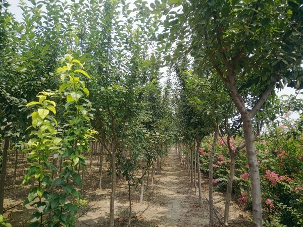 山东淄博园林公司景观树1.jpg