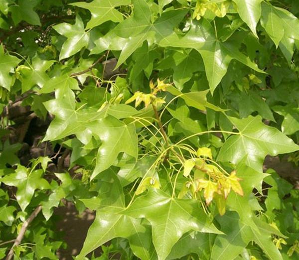 山东淄博园林公司景观树4.jpg