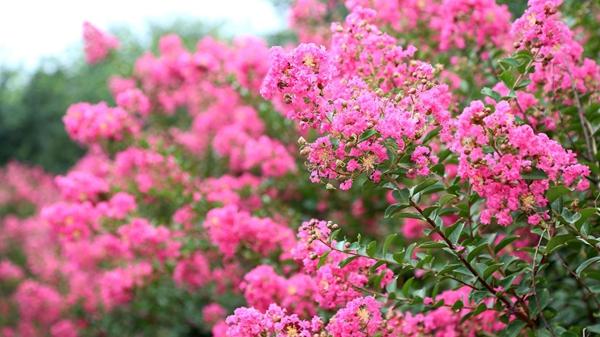山东淄博凯创园林紫薇3.jpg