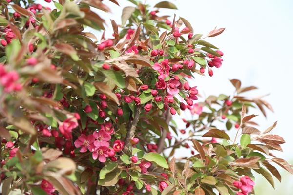山东高杆红巴伦海棠1.jpg