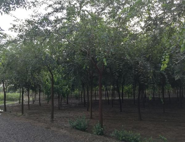 山东淄博园林朴树1.jpg