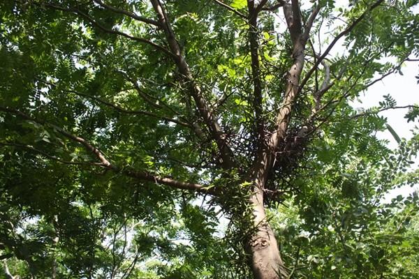 山东淄博园林皂角树2.jpg