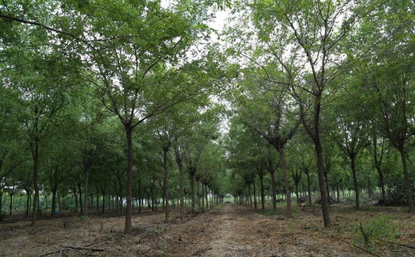 山东淄博园林皂角树3.jpg
