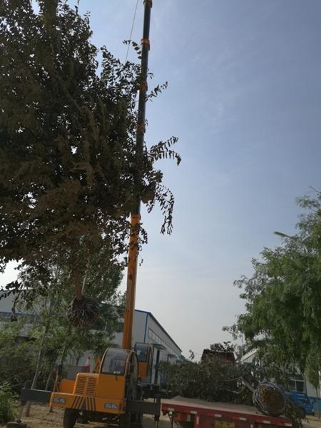 山东淄博园林朴树2.jpg