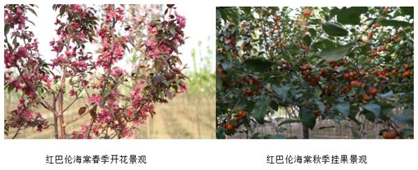 山东淄博园林红巴伦海棠1.jpg