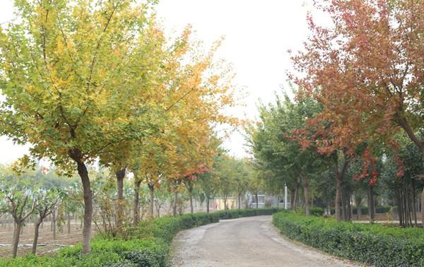 厂区绿化五角枫3.jpg