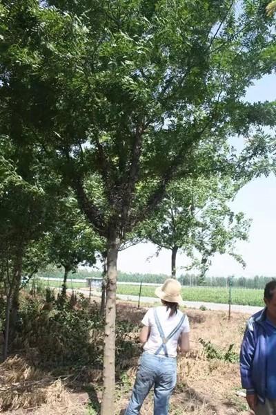 山东淄博凯创园林皂角树3.jpg