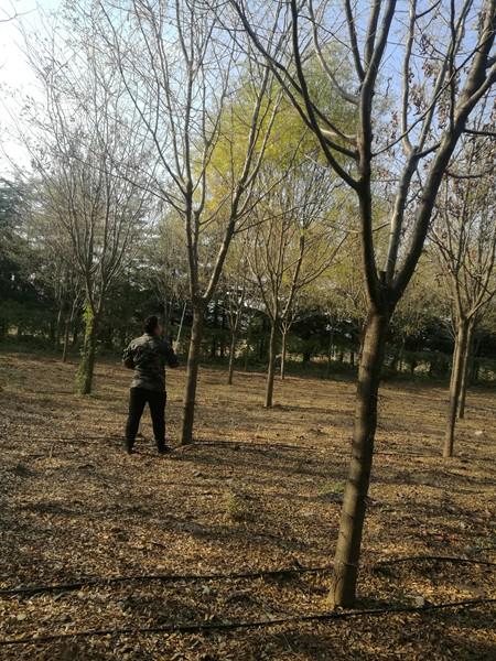 山东淄博凯创园林皂角树2.jpg
