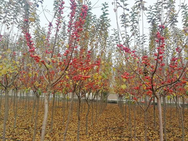 山东淄博凯创园林北美海棠2.jpg