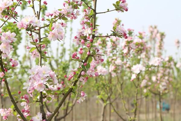 山东淄博凯创园林北美海棠5.jpg