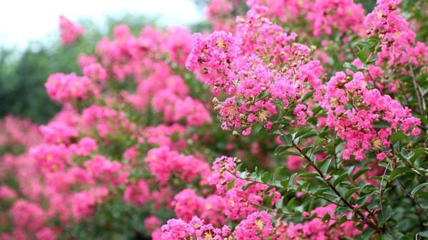 山东淄博凯创园林丛生国旗红紫薇1.jpg