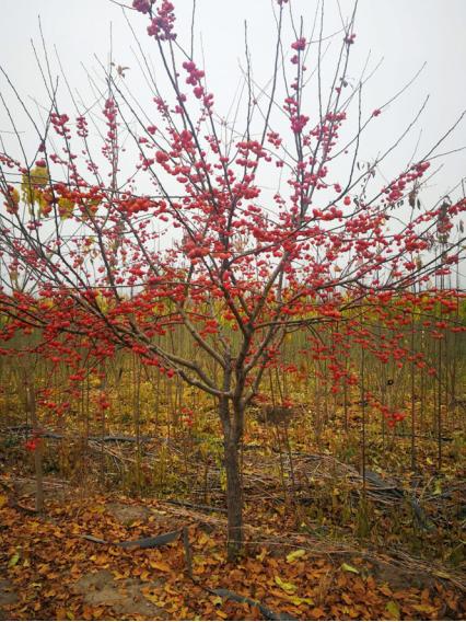凯创园林冬红海棠树实景拍摄