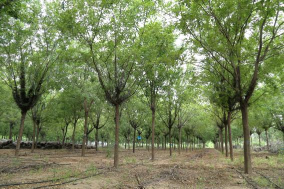 凯创园林皂角树林区