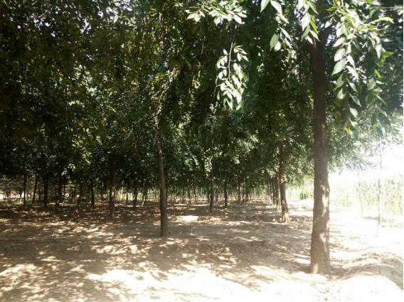 凯创园林的朴树种植基地