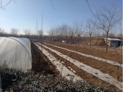 凯创园林——大叶丝棉木的培育