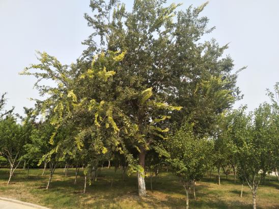 山东10公分、11、12、13、14、15公分小叶朴—城市绿化先锋树种