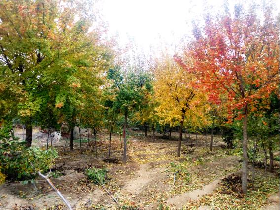 凯创园林培育的五角枫
