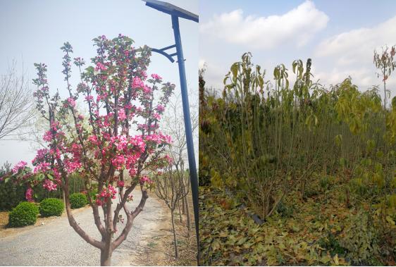 凯创园林培育的海棠、丛生丝棉木