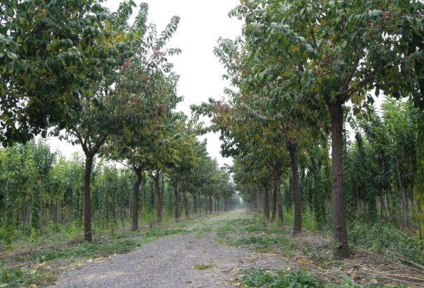 凯创园林培育的大叶丝棉木